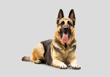 watchdog: East-European Shepherd