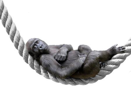 Monkey Gorilla lying on the rope. Stock Photo