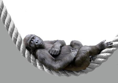 Isolated monkey gorila lying on the twisted rope. Stock Photo