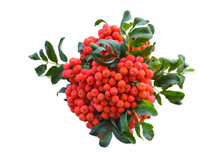 The bush of red rowan isolated on white background. Banco de Imagens