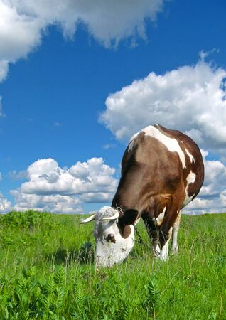 grazing cows: Grazing cows on pasture farm.