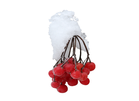 Rowanberry twig in snow on white background 写真素材