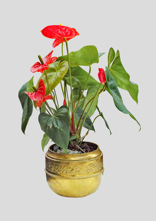 Homemade anthurium flowers in a pot on an isolated background.
