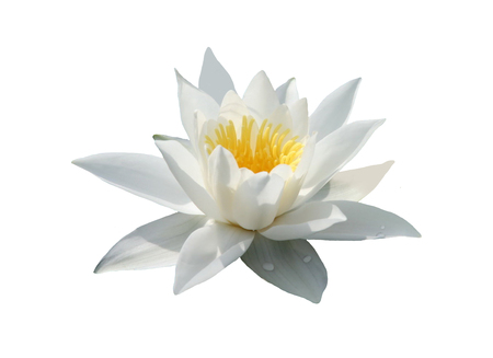 White water lily flower on a white background. Stock Photo