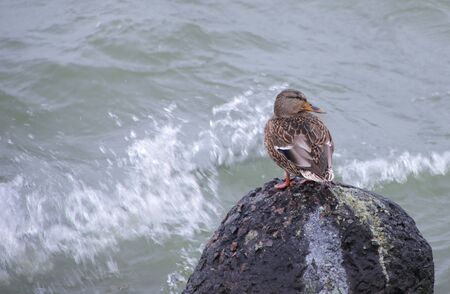 Wild duck by the sea during a storm.