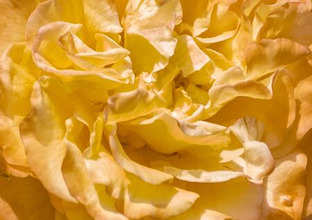 Yellow rose petals. Background image.