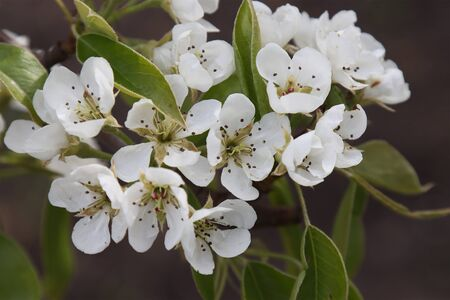 Blooming white flowers pear fruit tree.