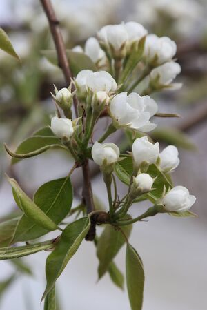 White inflorescences of a pear tree.