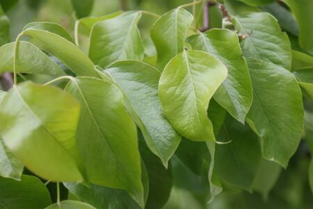 Young leaves on the branches of a pear. Imagens