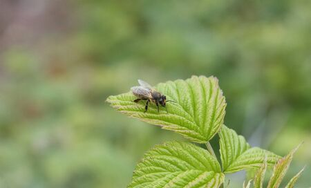 Insect bee sits on a raspberry leaf.