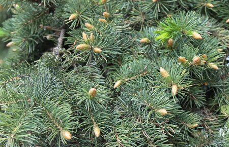 Young, buds of an evergreen European Christmas tree.