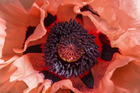 Close-up of a pink poppy flower.