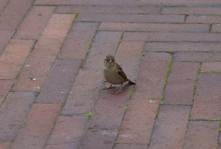 Sparrow bird on a cobbled city road.