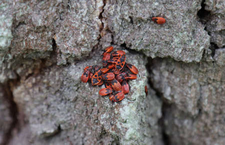 Red bug insect soldier gathered on a tree. Imagens
