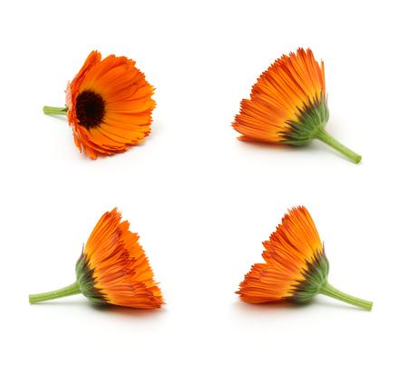 pot marigold: Calendula flowers set isolated on the white background