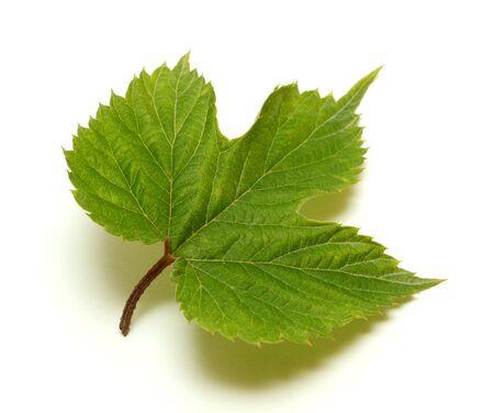 Hop leaf isolated on white background