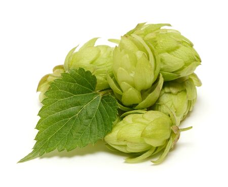 bitterness: Hop cones with leaf isolated on white background