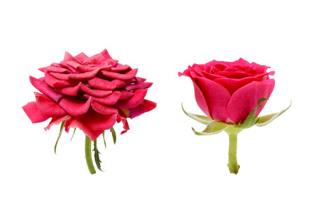 Faded and fresh red rose flowers isolated on white background. The concept of aging.