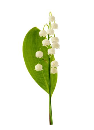 Lily of the valley flower isolated on the white background