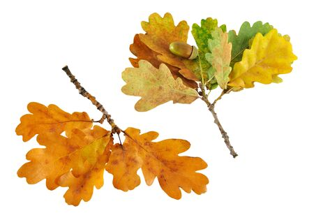 Two autumn oak branch isolated on white background