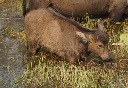 Young water buffalo Cambodia