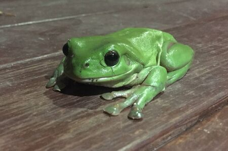 Australian Green tree frog hunting mosquitoes 写真素材 - 132125421