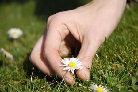 young female hand picking daisy                                 Stock Photo