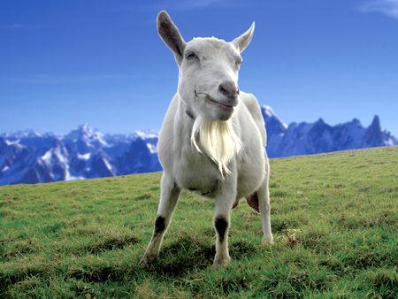 geiten grazen in een veld op een berg Stockfoto