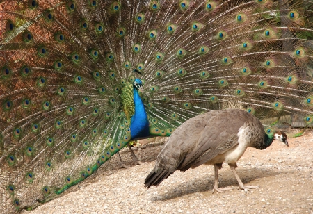 peacock displaying feathers to peahen