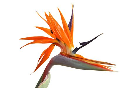 bird of paradise flower isolated with clipping path