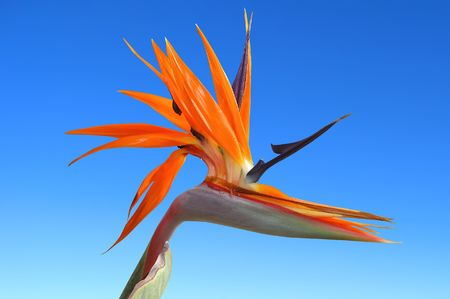 canary bird: bird of paradise flower against a pure blue sky