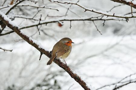 christmas robin: robin redbreast perched on a snow covered tree branch Stock Photo