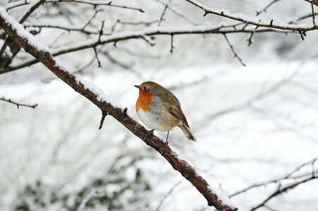 robin redbreast perched on a snow covered tree branch Stock Photo