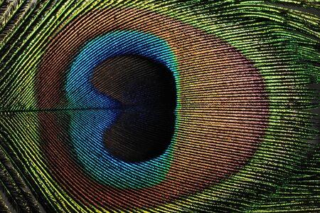 flat macro closeup of colorful peacock feather photo