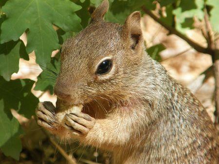 nibbling: Squirrel nibbling on food scraps in Zion National Park, Utah