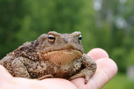 protruding eyes: toad