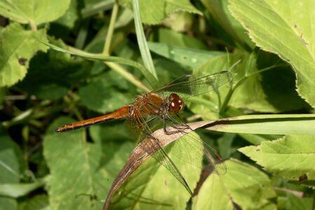 hexapod: dragonfly