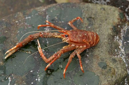 Norway lobster photo