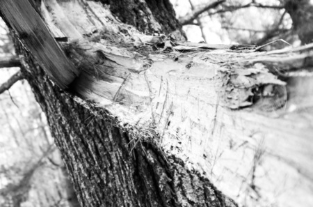 Tragic Picture of a broken tree in black and white Imagens