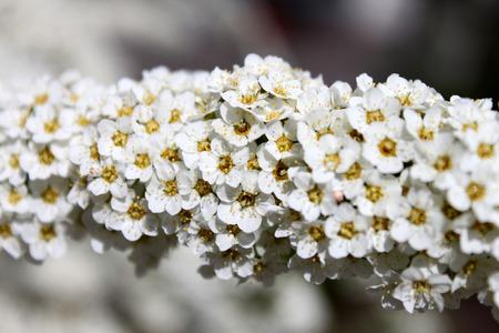 close p: Spiraea close up