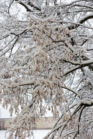 polar climate: Snow Branches vertical