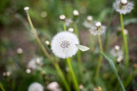 blowball: Blowball and butterfly on it - close