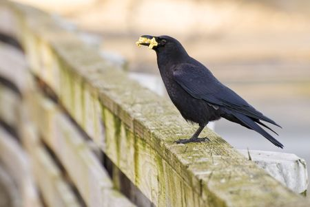 A crow landed right in front of me after being fed popcorn by tourists. Stock Photo