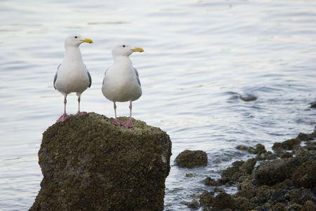 birdwatching: Seagull Buddies