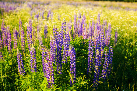lupines: Lupines in a field in the sunlight Stock Photo