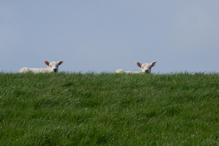 White lambs lying on green grass with clear blue sky enjoying the sun and facing the camera photo