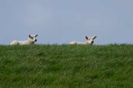 bleating: White lambs on green grass with clear blue sky enjoying the sun Stock Photo