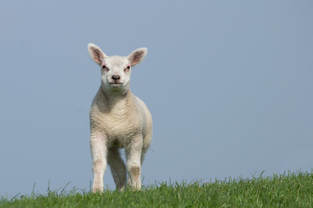White lamb standing on green dike with clear blue sky facing the camera photo