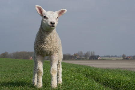 bleating: White lamb standing on green dike against a clear blue sky. Some trees and barns in the background