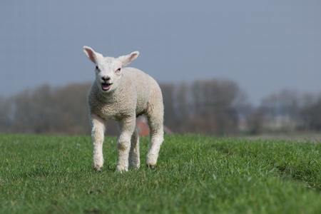 White lamb bleating and running towards me on green dike against a clear blue sky. Some trees in the background